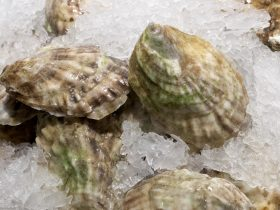can you freeze oysters